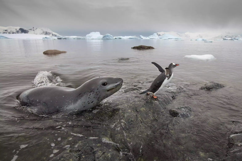 Морской леопард возле пингвина в Антарктиде