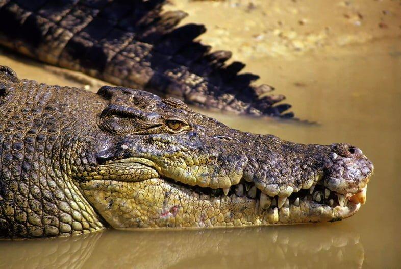 Голова и хвост гребнистого крокодила у кромки воды.