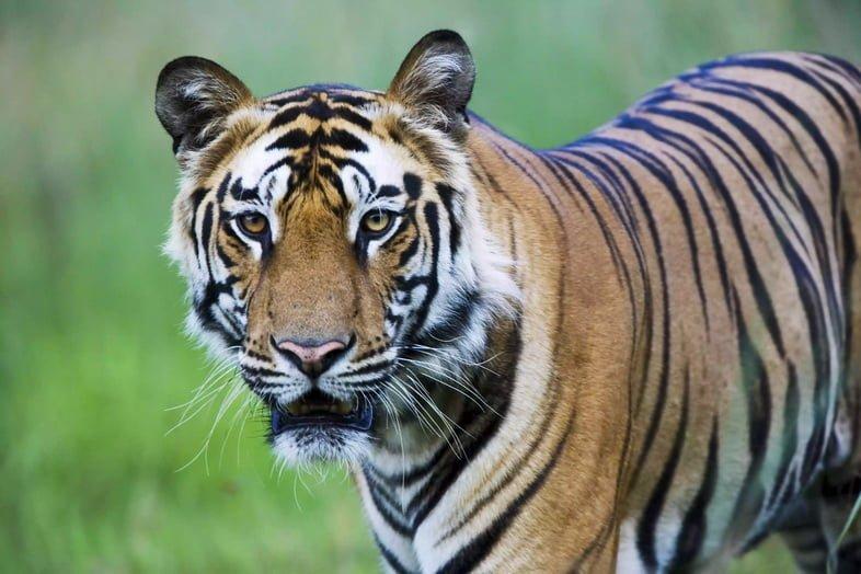 Тигр стоит лицом с лугами на заднем плане.