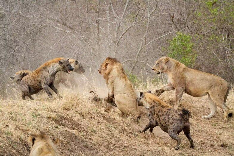 Гиены атакуют львов