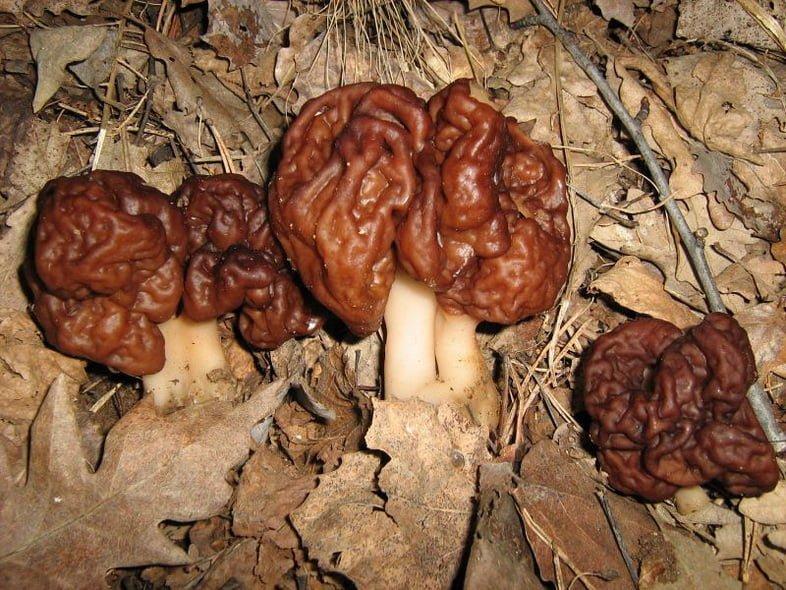Белая трубка с коричневой блестящей головкой в форме мозга, известная как строчок обыкновенный