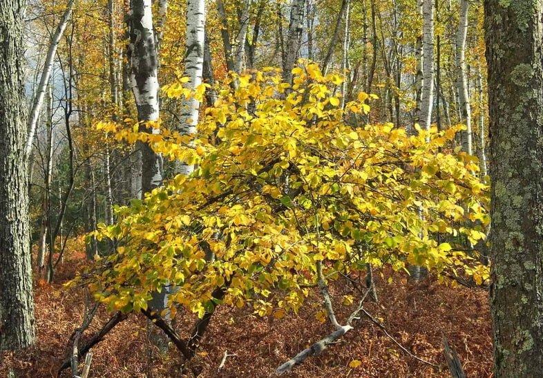 Яркие желто-оранжевые листья гамамелиса виргинского в полном цвету