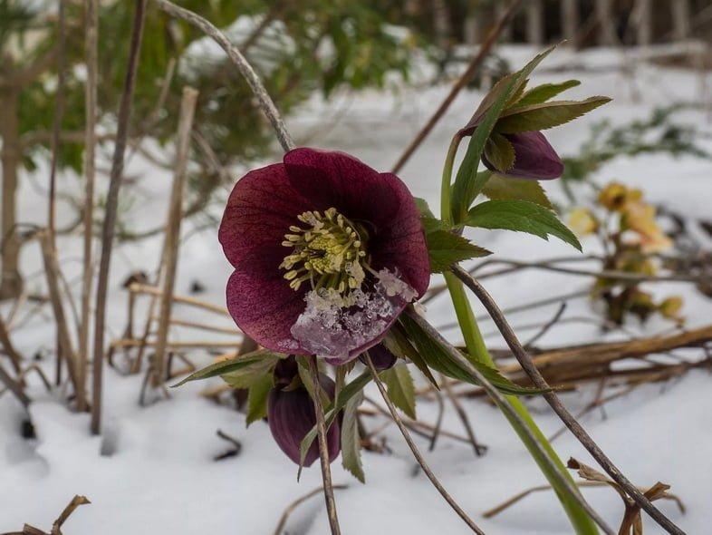 На снегу расцветает круглый бордовый цветок с желтым центром.