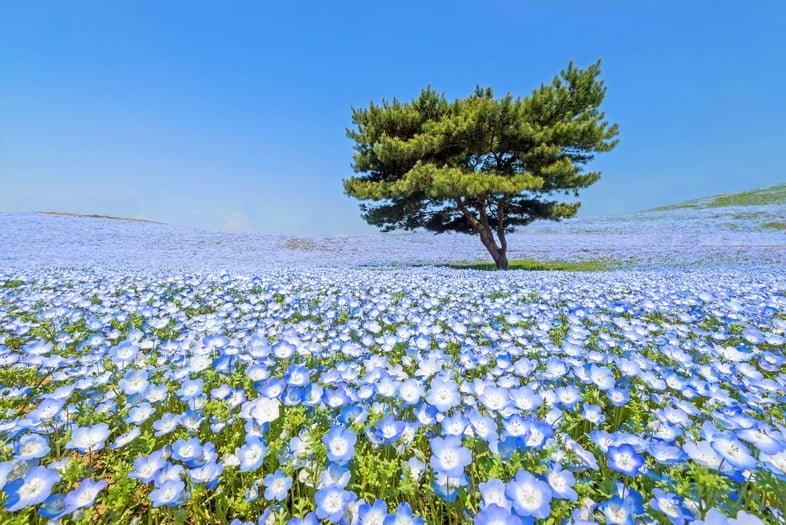 Единственное дерево и широкое поле синих цветов