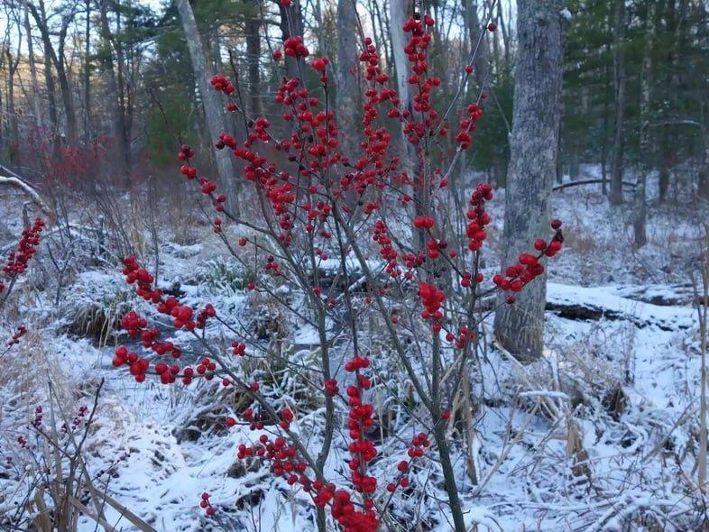 Ярко-красные ягоды на ветках на фоне заснеженного зимнего леса