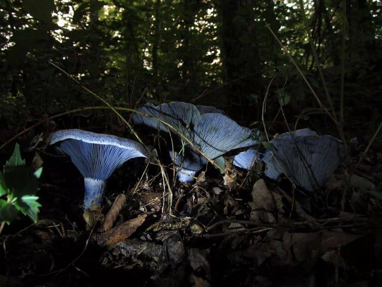 Млечник голубой, освещенный вспышкой в темном лесу