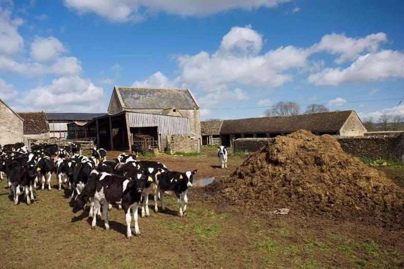 Коровы с молочной фермы в Шерборне, Глостершир, Великобритания, стоят рядом с насыпью навоза.