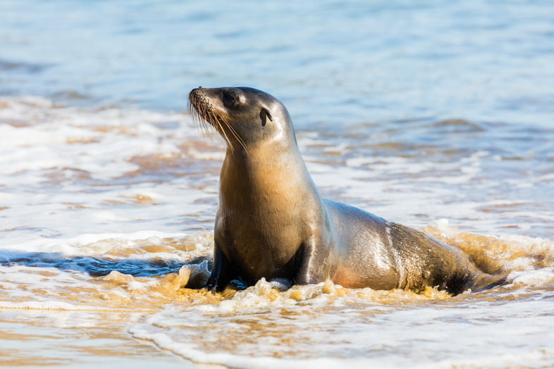 Морской лев сидит на берегу в прибое, опираясь на ласты.