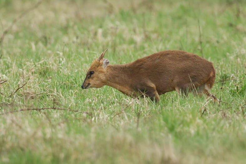 Великолепный олень мунтжак, Muntiacus reevesi, кормится в поле на окраине леса в Великобритании.