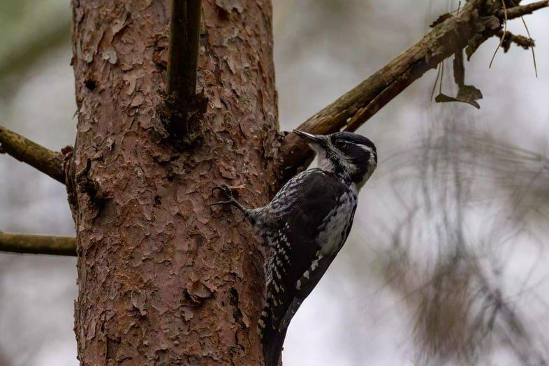 Евразийский трёхпалый дятел на дереве.