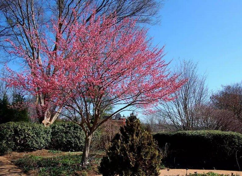 Маленькое японское абрикосовое дерево в полном розовом цвете на фоне ярко-синего неба.