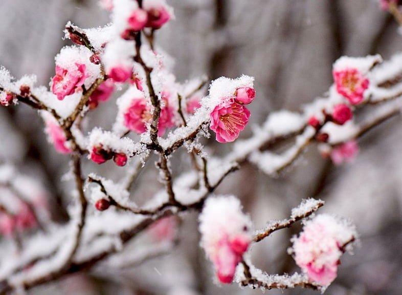 Ярко-розовые цветы японского абрикоса, покрытые снегом