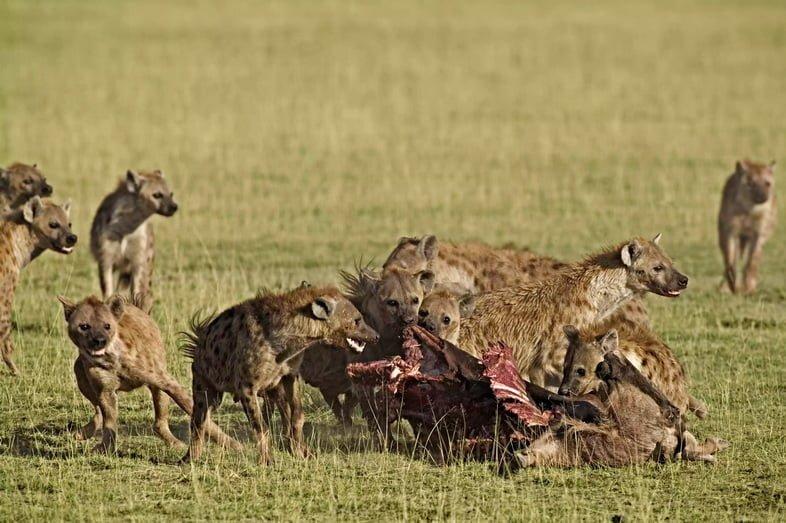 Стая пятнистых гиен, Crocuta crocuta, питающаяся добычей. Национальный парк Амбосели, Кения.