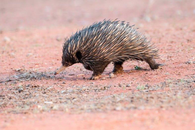 Австралийская ехидна – редкое млекопитающее, откладывающее яйца.