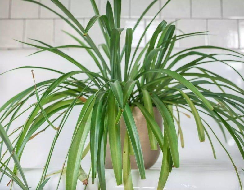 Большой хлорофитум хохлатый в горшке в ванной комнате, облицованной белой плиткой