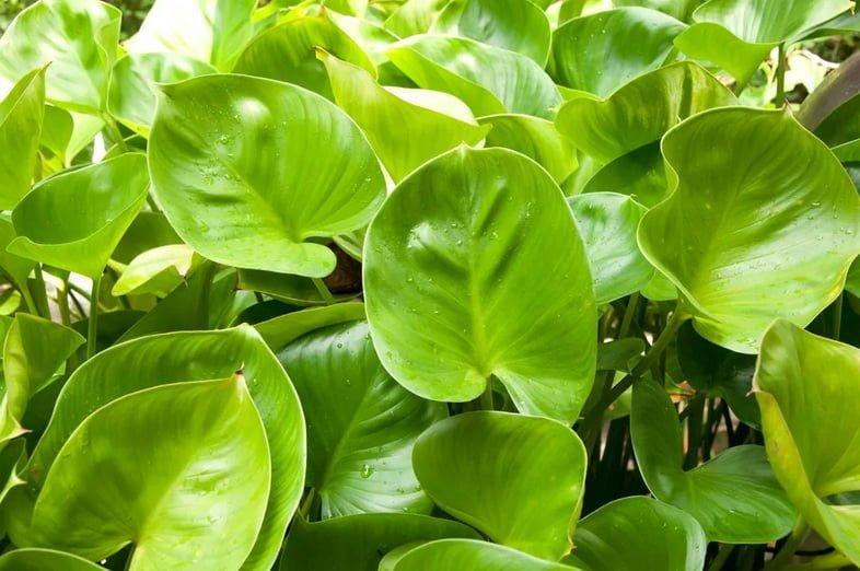 Крупным планом – ярко-зеленые листья в форме сердца