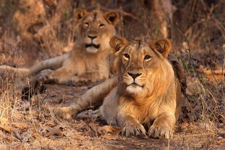 Две азиатские львицы