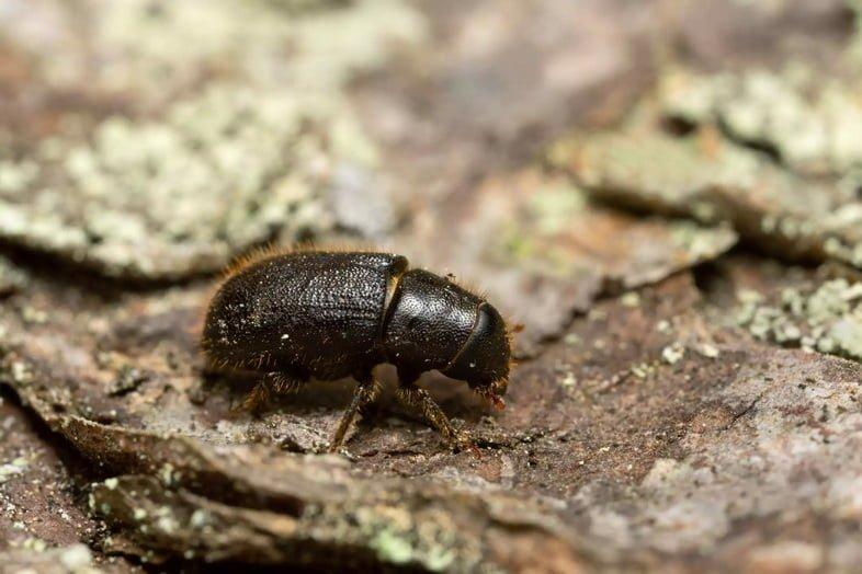 Увеличенное фото маленького черного жука на коре дерева.