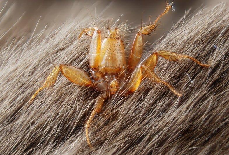Крупный план мухи летучей мыши, похожей на паука, прижимающейся к меху летучей мыши