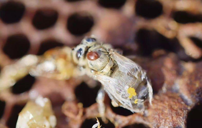 Пчелиная семья заражена пчелиным клещом Варроа деструктор (Varroa destructor), клещ на недавно появившейся деформированной пчеле – Краинская медоносная пчела – рядом с мертвыми личинками, Бавария, Германия.