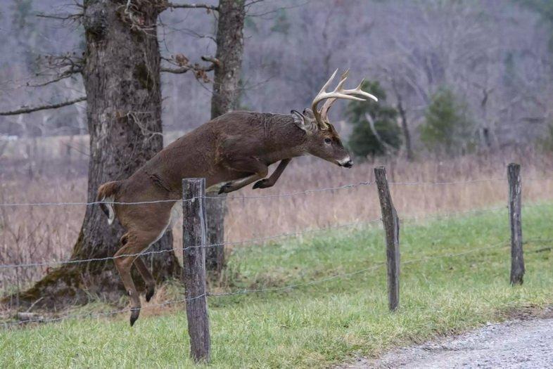 Белохвостый олень перепрыгивает через высокий забор