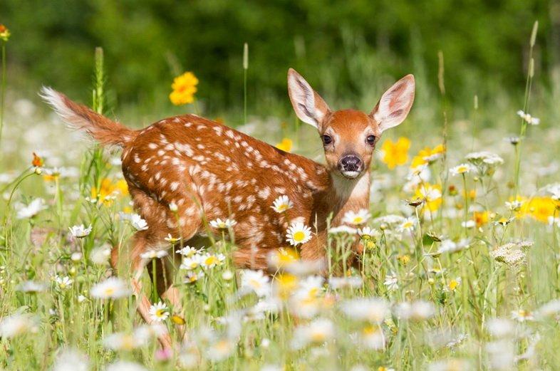 Молодой белохвостый олень на лугу