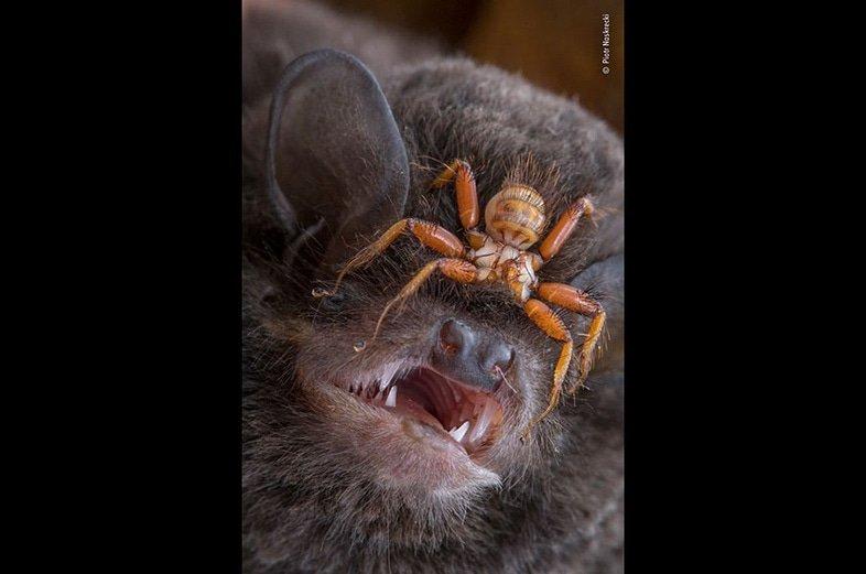 Фотограф года дикой природы: случай с мухами летучих мышей