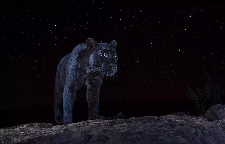Черный леопард рядом