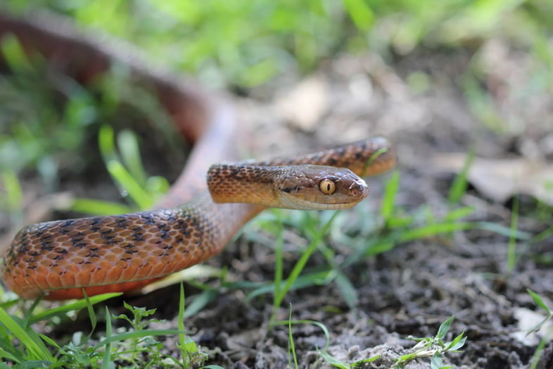 Коричневая змея с желтыми глазами в защитной позе в траве