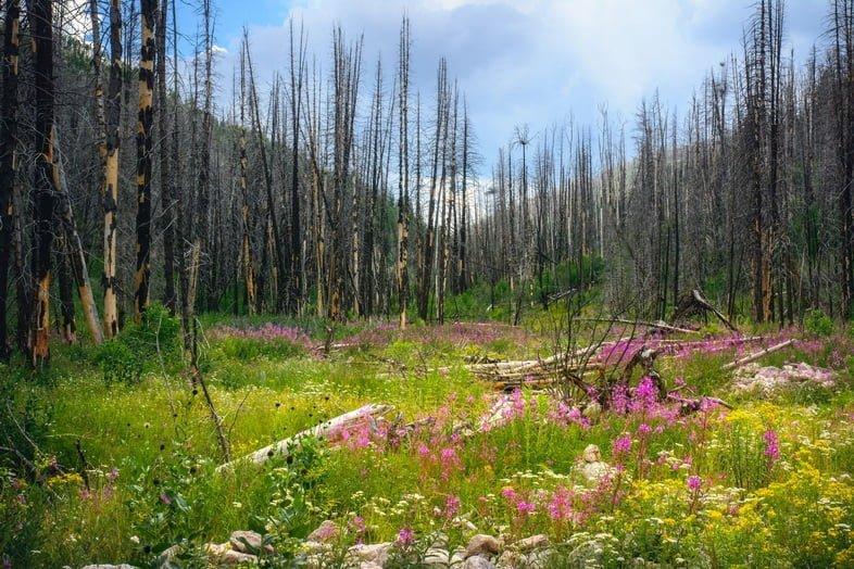 Сгоревшие деревья и луг с полевыми цветами.