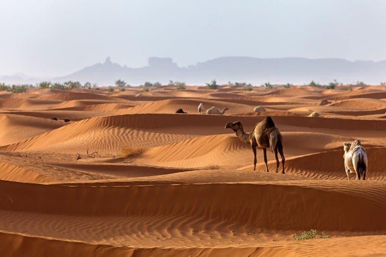 Верблюды в аравийской пустыне