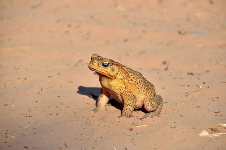 Большая жаба желтого цвета с коричневыми пятнами стоит на песке