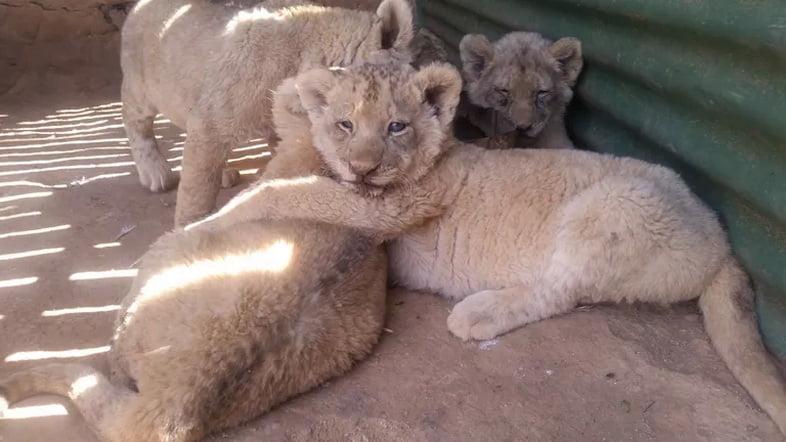 Львята в неволе на ферме в Южной Африке