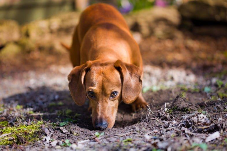 Собака нюхает землю