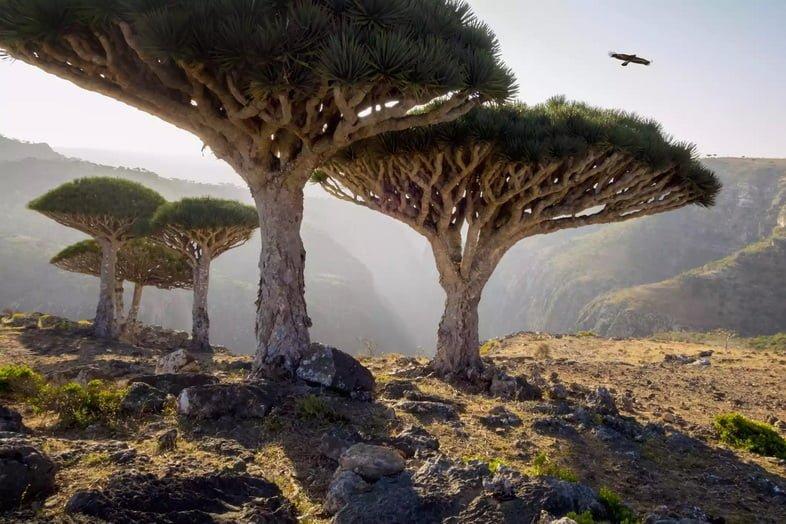 Деревья «Драконова кровь» в скалистом пейзаже с высоко летящей птицей