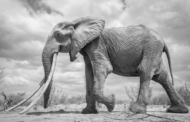 Слон гуляет