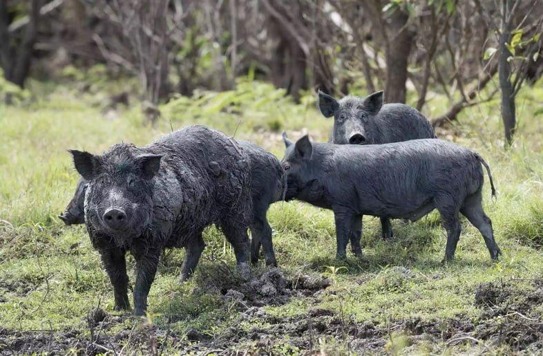 Четыре черных диких свиньи, стоящие в поле травы