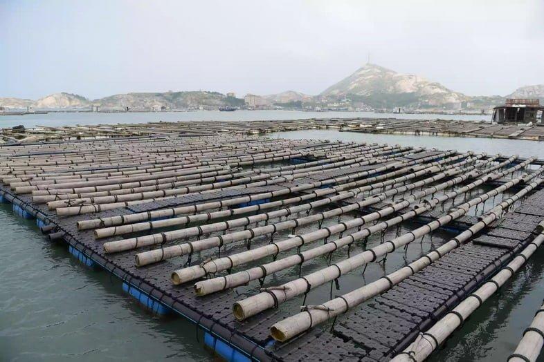 Большая ферма по выращиванию морских ушек на острове Нанри в Китае