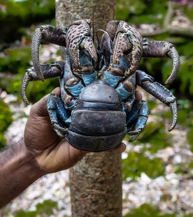 Гигантский кокосовый краб в руке.