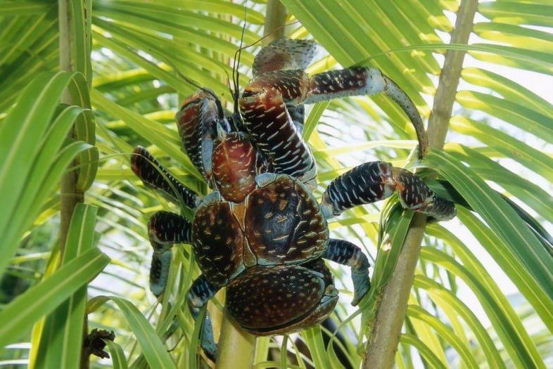 Гигантский кокосовый краб на острове Ниуэ