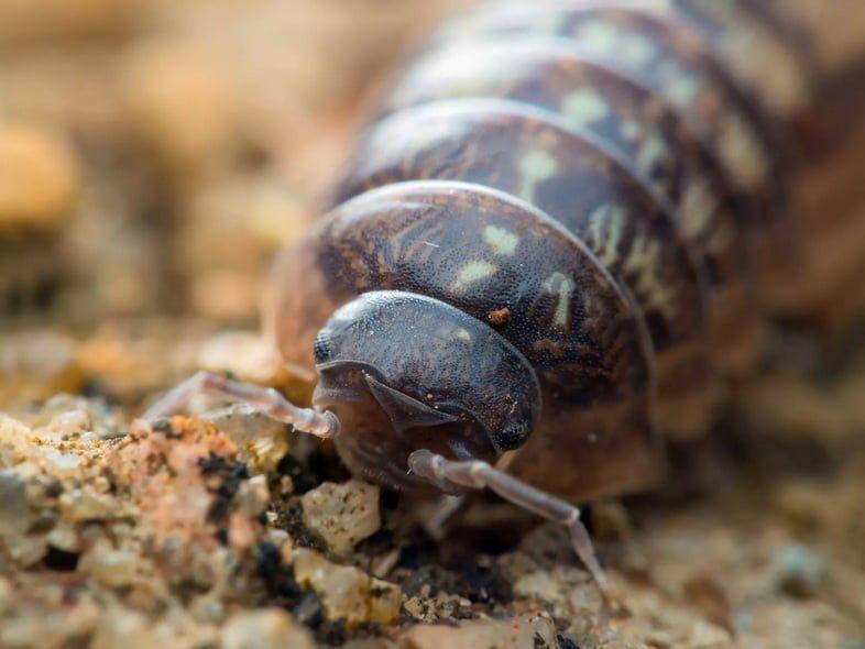 Голова и передние лапы мокрицы-броненосца обыкновенной, работающего в почве