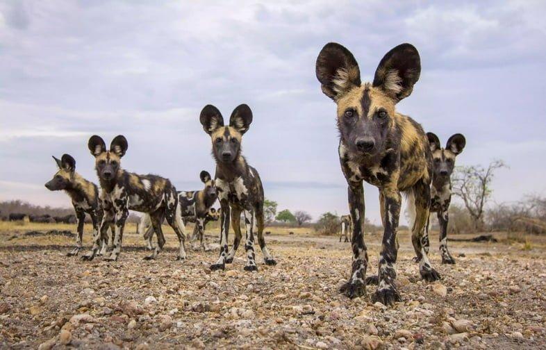 Африканские дикие собаки сфотографированы BeetleCam