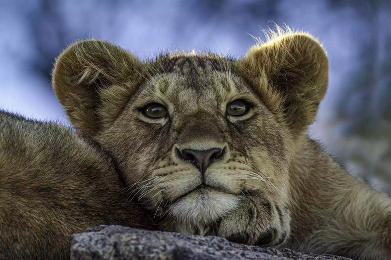 Катангский лев