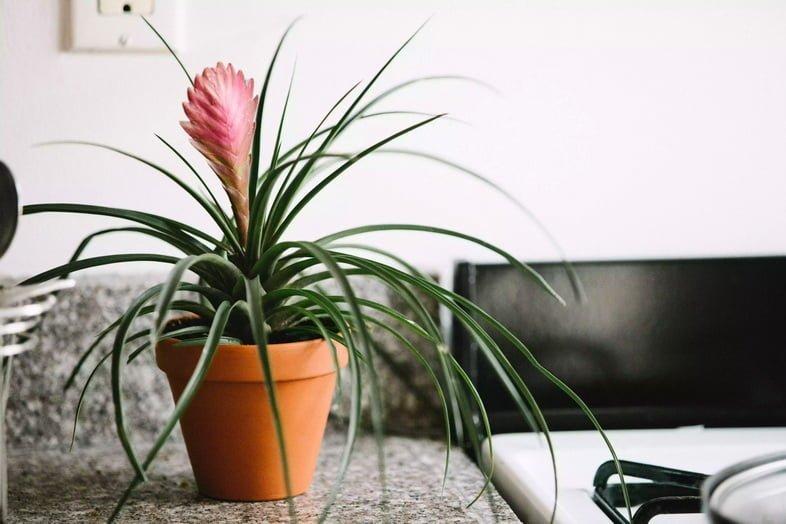 Бромелиевые растения рядом с плитой на кухне