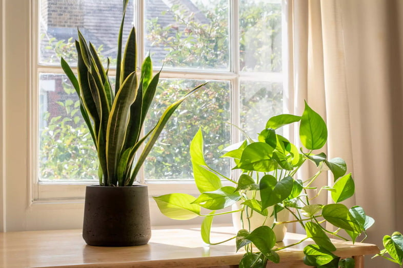 Сансевиерия трёхполосная с эпипремнумом золотистым в светлом окне