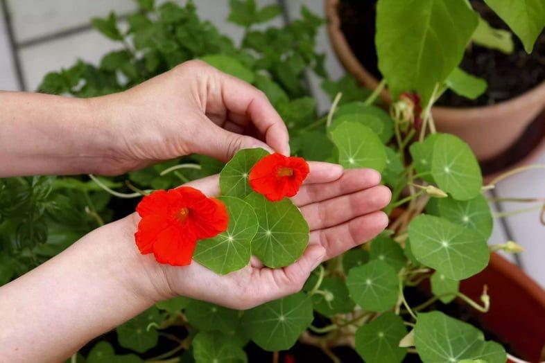 Человек, держащий цветы настурции, отрезанные от растения