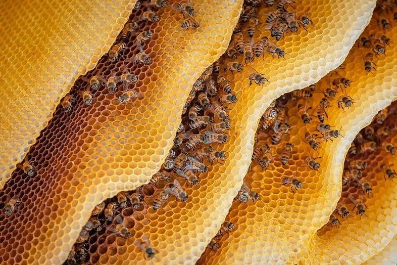 Колонии медоносных пчёл в улье