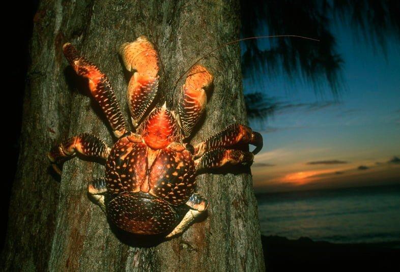 Пальмовый вор, или кокосовый краб (Birgus latro) на дереве