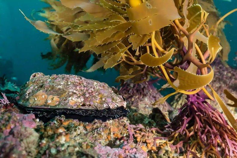 Красное морское ушко рядом с водорослями