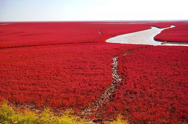 Красные растения, покрывающие водно-болотные угодья на берегу реки Ляохэ